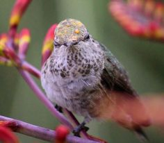 https://flic.kr/p/JqGqKg   Looking right at me!   Sweet little Anna's Hummingbird let me take lots of photos of her.  Her head has some pollen infused water drops.  I think the yellow on her head is also pollen.  If you enlarge the photo you can see what looks like yellow pollen granules.
