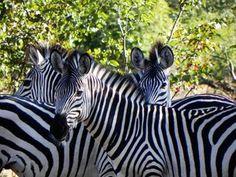 photo taken in Zambia Tourist Information, Baboon, Crocodiles, East Africa, Zebras, Uganda, Free Stock Photos, Safari, National Parks
