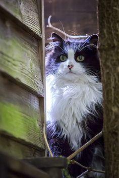 pretty black & white cat
