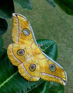 Silkworm Moth (Antheraea sp) 100s of Wildlife Treasures. http://www.pinterest.com/njestates1/wildlife-treasures/ Thanks To http://www.njestates.net/real-estate/nj/listings