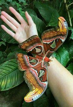 Beautiful Bugs, Beautiful Butterflies, Amazing Nature, Beautiful Things, Cool Insects, Bugs And Insects, Butterfly Pictures, Butterfly Art, Beautiful Creatures