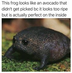 20 Funny Animal Memes For Animal Lovers - Funny Animals - Daily LOL Pics Funny, Animal, Memes: This frog looks like an avocado that didn't get picked be it looks too ripe but is actually perfect o Cute Animal Memes, Cute Funny Animals, Funny Animal Pictures, Funny Cute, Top Funny, Funny Pics, Sports Pictures, Funny Images, Funny Animal Humor