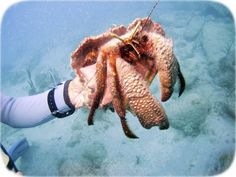 """Giant Hermit Crab (Petrochirus diogenes), largest hermit crab in the Caribbean, growing to 5"""" to 8"""" long. Member of family Diogenidae, the Left-handed Hermit Crabs left claw is slightly larger than its right. The surface of its exoskeleton is patterned in a way that resembles irregular scales. They typically live in sandy areas or sea grass  large shells, most commonly the Queen Conch. Photo taken at Creole Rock in St. Martin."""