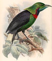 Splendid astrapia - Astrapia splendidissima 1895