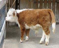 I didn't think cows could get any cuter...until I discovered the MINI COW!