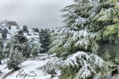 LEBANON, AKKAR, Kamoua Forest - Al Qubayyat