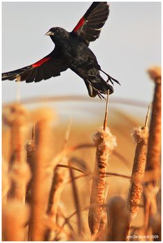 Red winged black bird    repinned from Take Off by `kkart