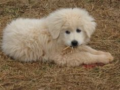 Maremma puppy!! Can't wait to have some of these in a few years!