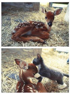 Fawn and cat. Oh. my. how. cute.