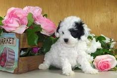 mini toy poodle - Google Search Mini Dogs, Poodle, Google Search, Toys, Animals, Activity Toys, Animales, Animaux, Clearance Toys