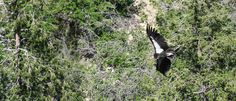 Brian has been talking about his wildlife adventures on CBC Radio for nearly three decades now. The last time Brian talked about the California Condor was back in October of A lot has happened since then! California Condor, Interesting Animals, The Last Time, Bald Eagle, Wildlife, October, Adventure, Adventure Movies, Adventure Books