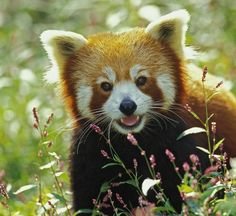Red panda - my new adorable obsession
