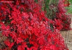 Amazing Red Virginia Creeper-for my ladder under cork screw Willow tree!