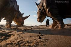 """some people go to the beach to enjoy a beautiful sunset, to search for dolphins, or to watch surfers riding the waves. that's why montauk, new yorkers could have never expected to come face-to-face with a 12' long 5' high life-sized rhino, made of mixed media resin, roaming their shores. at least not until today (1/29/2012). davis murphy, a multidisciplinary artist, sculpted a variety of these powerful creatures as """"an extreme example of sculptural form, to express sheer weight and…"""