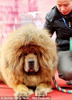Ideas Dogs Big Tibetan Mastiff For 2019 Tibetan Mastiff Dog, Mastiff Dogs, Bulldog Puppies, Dogs And Puppies, Expensive Dogs, Most Popular Dog Breeds, Dog Crafts, Large Dog Breeds, Big Dogs