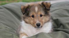 Shetland Sheepdog puppy. Adorable <3
