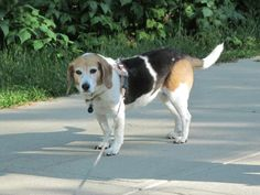 Old Lady Beagle