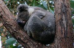 Lovely Koala