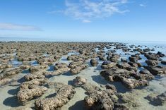 Stromatolites — like these, found in the World Heritage Area of Shark Bay, Western Australia — may contain cyanobacteria, which were most likely earth's first photosynthetic organisms. Stromatolites have been found that date back to about 3.7 billion years ago