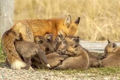When one is not enough #fox Cape Breton, Wildlife Photography, Kangaroo, Birds, Horses, Nature, Animals, Collection, Naturaleza