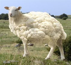 Cauliflower + Sheep = Caulisheep; clothes made from these animals are edible. ;)