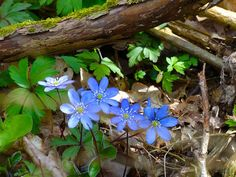 Forest, Liverleaf Our, Nature, Forest, Halland Free Photos, Free Images, Blue Flowers, Wild Flowers, Anemone Hepatica, Woodland Flowers, Walk In The Woods, Closer To Nature, Spring Time