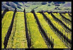 Napa Valley.  Mustard growing between grapevines