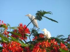 . . . up in the Flamboyant tree, Nevis