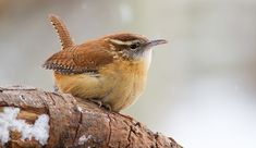 The New Birds of Winter by Marc Devokaitis on All About Birds blog from The Cornell Lab or Ornithology