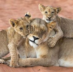 Frisky little lion cubs chewing on their patient mom.