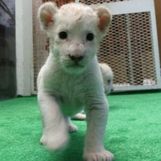 There has been something of a baby boom at Himeji Central Park in Japan. Three South African lions gave birth to seven white lioness cubs in one month (their respective birthdays are June 6, 26 and 30, if you want to send them all cards).
