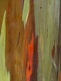 photos are just a small sampling of the infinite variety of colors and patterns to be seen on the trunk of a Rainbow Eucalyptus tree. Each pattern is unique and will never be repeated exactly as first seen.  http://eucalyptusdeglupta.com