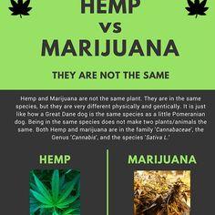 Hemp vs Marijuana: the main differences between the plants. #hemp #hempoil #hempclothing...