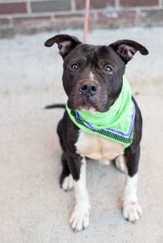 Brooklyn Center YALE – A1096531 MALE, BLACK / WHITE, AM PIT BULL TER MIX, 6 yrs STRAY – STRAY WAIT, NO HOLD Reason STRAY Intake condition UNSPECIFIE Intake Date 11/11/2016, From NY 11221, DueOut Date 11/14/2016