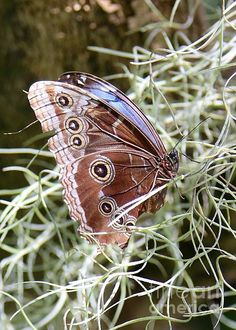 Butterfly in Moss by Carol Groenen  #butterfly #butterflies #nature #carolgroenennature  carol-groenen.artistwebsites.com