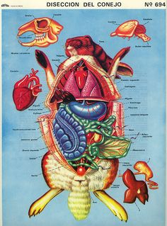 An undated lesson sheet from Mexico teaching rabbit dissection. Printed in Mexico by Sun Rise.