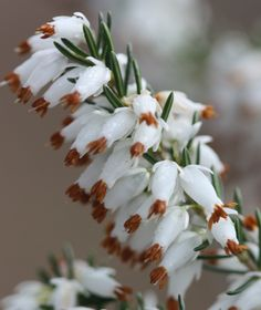 Winter heath Erica carnea f. alba 'Whitehall' Every Scottish garden needs a white heather plant. This one planted beside the path leading to the old hut in Feb 2013