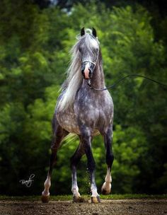 Arabian, Master Jullyen V from the cover of Arabian Horse Times.  Dappled Gray Beauty!