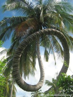 Unbelievable but real!! ♥ Coconut tree of Kerala, India.. | See More Pictures | #SeeMorePictures