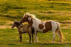 Islandpferde von Michael Meinhardt