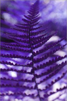Farn lila
