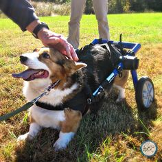 """Thanks for the head rub!"" Corgi in a Walkin' Wheels dog wheelchair."