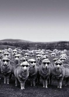 Ovelhas de óculos escuros