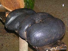Coco de mer nuts Seychelles, Avocado, Flora, Fruit, Lawyer, Plants