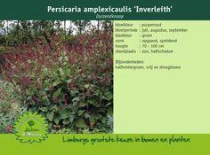 Afbeelding van http://www.limburgplant.nl/plant/PEAINVER.jpg.