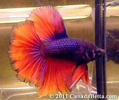 Beautiful purple-Orange Betta Fish #bettafish