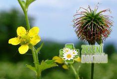 Kuklík městský není plevel, ale užitečná bylina!