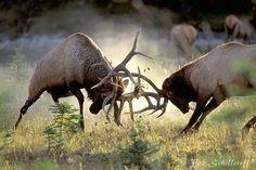 Elk fight, pretty cool!