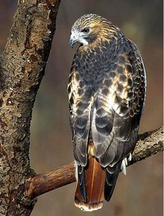 B~Red-tailed Hawk (Buteo jamaicensis)Genus: Buteo is a bird of prey that breeds throughout most of North America Kinds Of Birds, All Birds, Little Birds, Birds Of Prey, Love Birds, Pretty Birds, Beautiful Birds, Animals Beautiful, Exotic Birds
