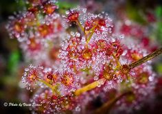 A Sparkling Sundew - Sundews are found almost worldwide. The sundew genus, Drosera, comes from the Greek language and means dew or dewdrops. Greek Language, Carnivorous Plants, Macro Photography, How To Memorize Things, Sparkle, Planet Earth, Evans, Photographers, Channel